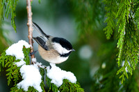 Chickadees Finch Juncos Sparrows