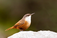 Nuthatch Wrens